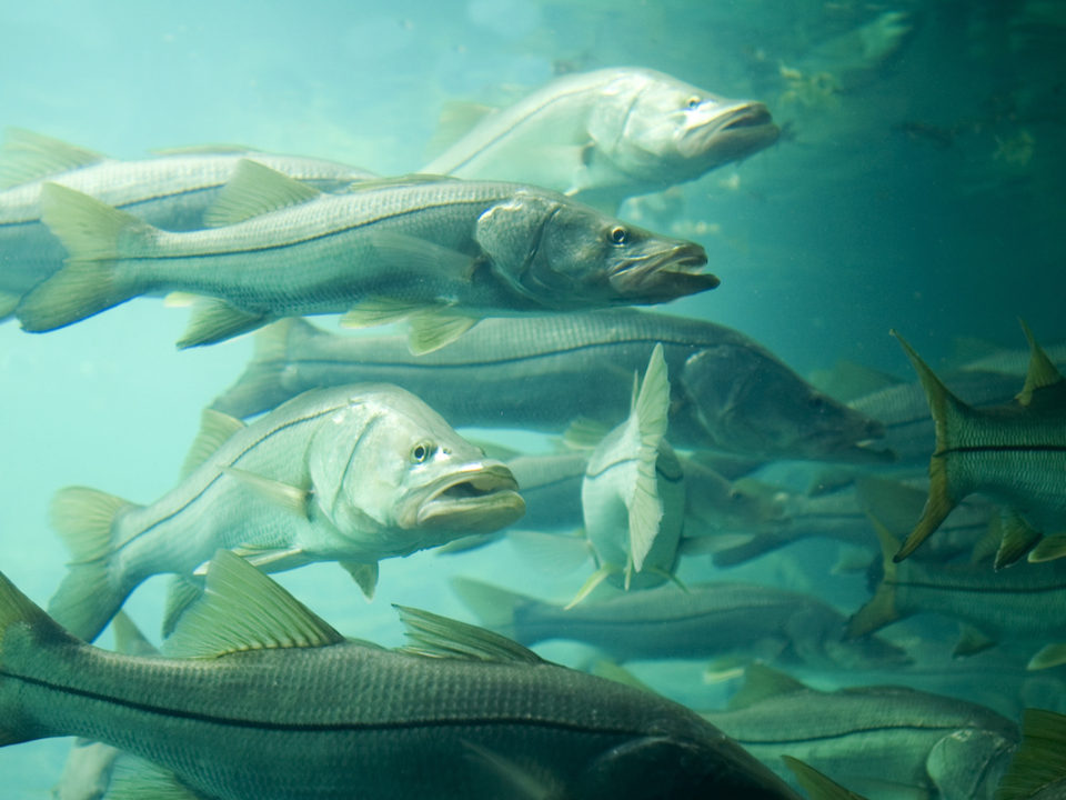 School of Snook 960x720 - Clearwater Inshore Fishing Report for March