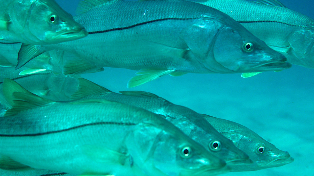 snook 1200x675 - What is a Snook?