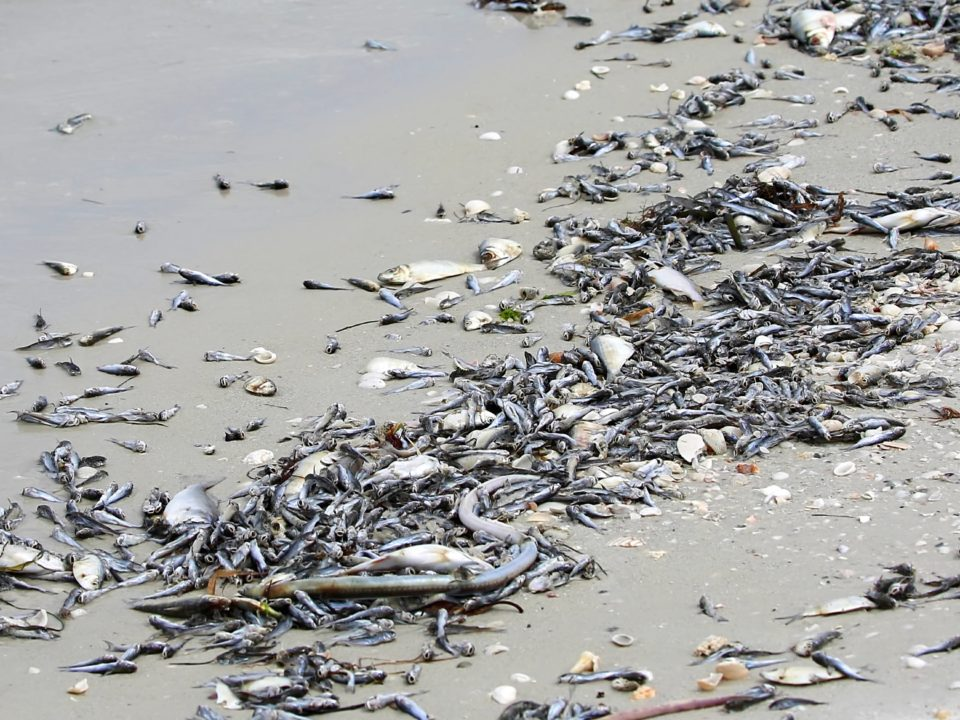 Red Tide 960x720 - You Can Help Clean up Red Tide in Florida!