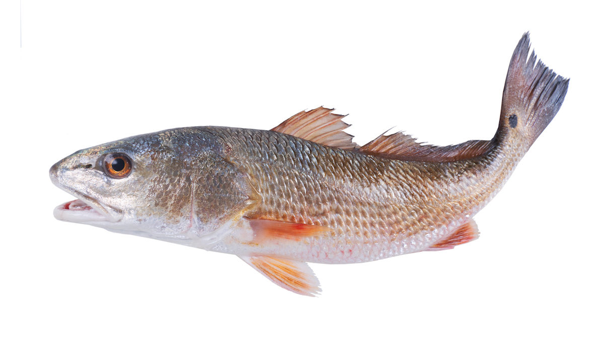 16000 Redfish Released into Southwest Florida Waters 1200x675 - 16,000 Redfish Being Released into Southwest Florida Waters