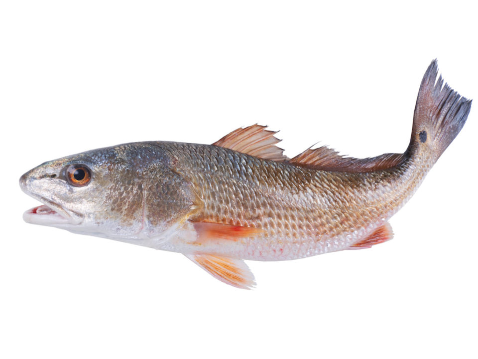 16000 Redfish Released into Southwest Florida Waters 960x720 - 16,000 Redfish Being Released into Southwest Florida Waters