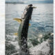 Don't Miss the Fighting Tarpon Action 80x80 - Pro Staff Sponsor Highlight - Suncoast Marine Center