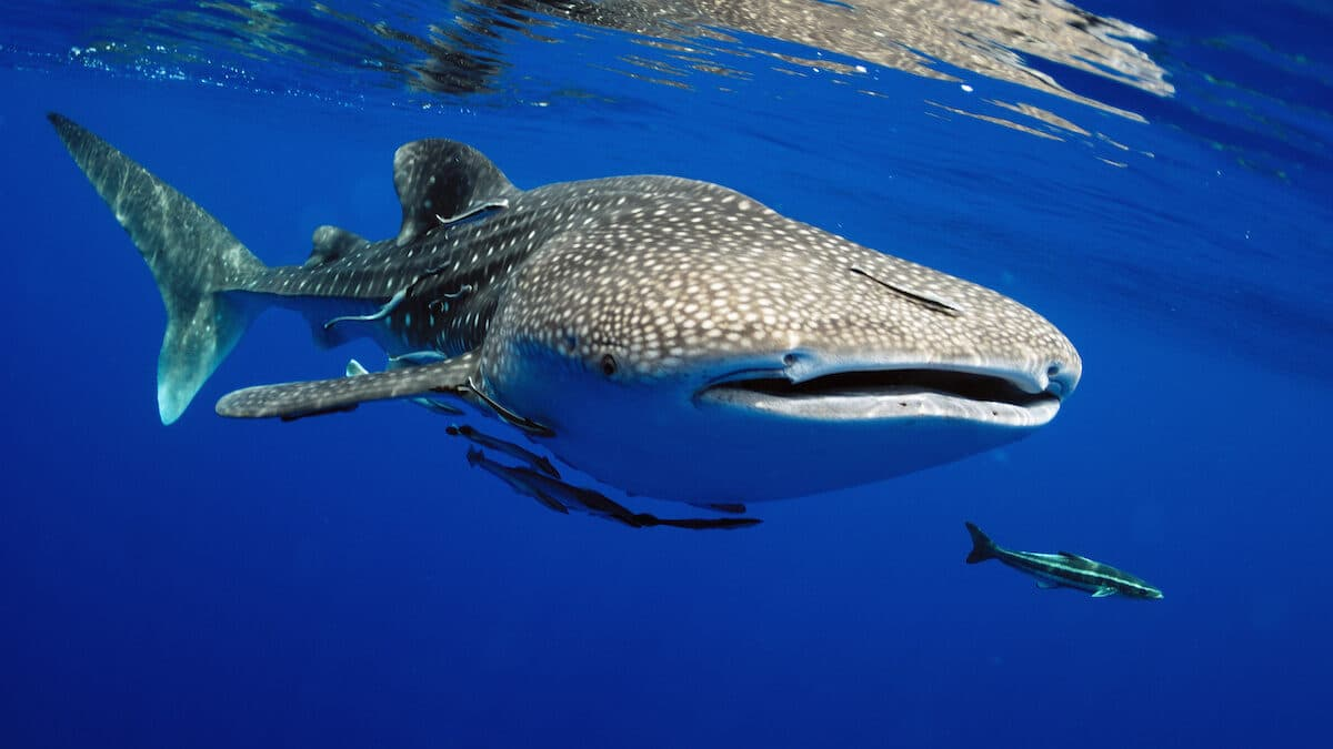 Endangered Whale Sharks Spotted Off the Coast of Tampa Bay 1200x675 - Endangered Whale Sharks Spotted Off the Coast of Tampa Bay