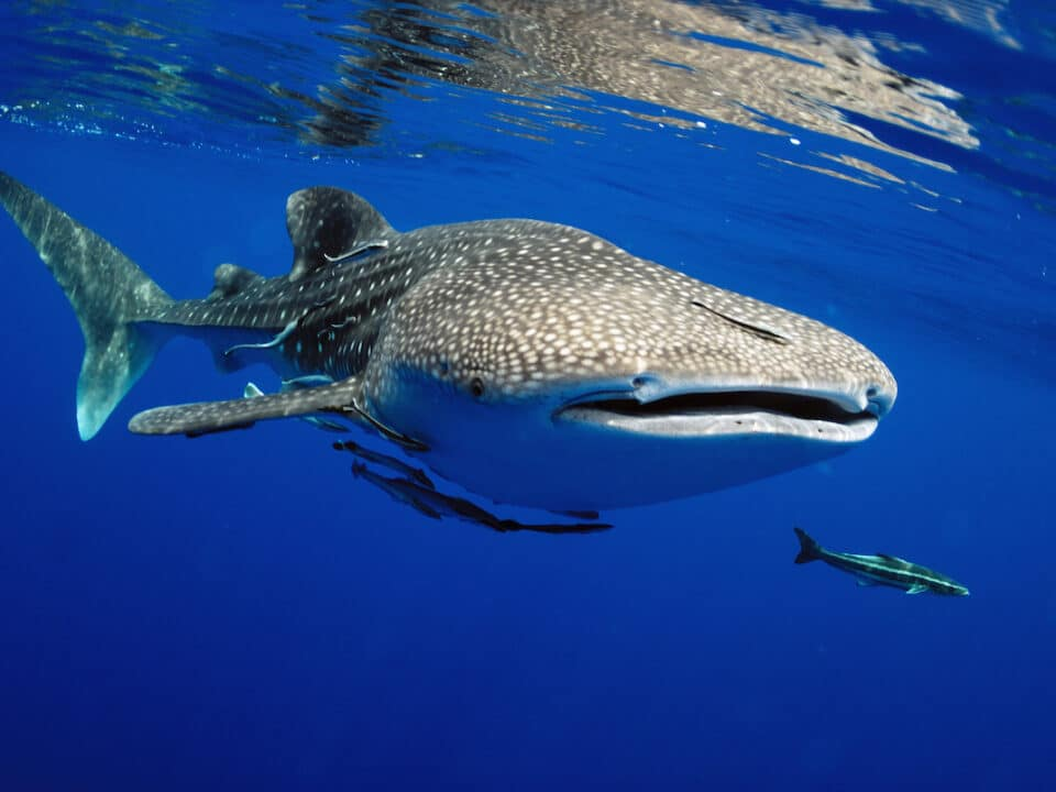 Endangered Whale Sharks Spotted Off the Coast of Tampa Bay 960x720 - Endangered Whale Sharks Spotted Off the Coast of Tampa Bay